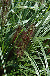 Red Head Fountain Grass (Pennisetum alopecuroides 'Red Head') at Bayport Flower Houses