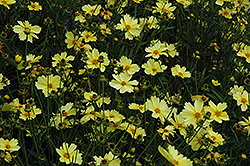 Full Moon Tickseed (Coreopsis 'Full Moon') at Bayport Flower Houses