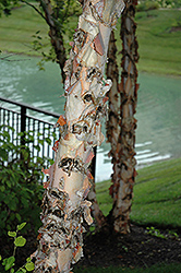 River Birch (Betula nigra) at Bayport Flower Houses