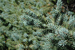 White Spruce (Picea glauca) at Bayport Flower Houses