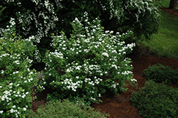 Tor Spirea (Spiraea betulifolia 'Tor') at Bayport Flower Houses