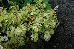 Golden Zebra Foamy Bells (Heucherella 'Golden Zebra') at Bayport Flower Houses