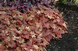 Sweet Tea Foamy Bells (Heucherella 'Sweet Tea') at Bayport Flower Houses