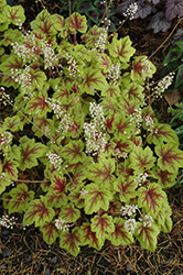 Stoplight Foamy Bells (Heucherella 'Stoplight') at Bayport Flower Houses