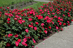 Knock Out® Rose (Rosa 'Radrazz') at Bayport Flower Houses