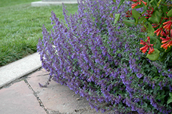 Six Hills Giant Catmint (Nepeta x faassenii 'Six Hills Giant') at Bayport Flower Houses