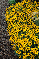 Little Goldstar Coneflower (Rudbeckia fulgida 'Little Goldstar') at Bayport Flower Houses