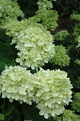 Little Lime® Hydrangea (Hydrangea paniculata 'Jane') at Bayport Flower Houses