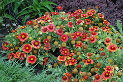 Arizona Red Shades Blanket Flower (Gaillardia x grandiflora 'Arizona Red Shades') at Bayport Flower Houses