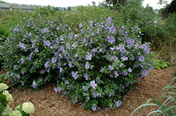 Blue Chiffon® Rose of Sharon (Hibiscus syriacus 'Notwoodthree') at Bayport Flower Houses
