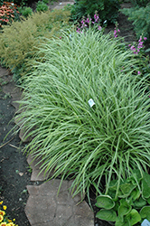 Ice Dance Sedge (Carex morrowii 'Ice Dance') at Bayport Flower Houses