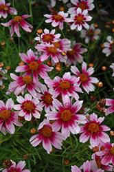 Heaven's Gate Tickseed (Coreopsis rosea 'Heaven's Gate') at Bayport Flower Houses