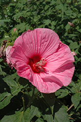 Plum Crazy Hibiscus (Hibiscus 'Plum Crazy') at Bayport Flower Houses