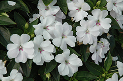 Bounce™ White Impatiens (Impatiens 'Balbouite') at Bayport Flower Houses