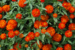 Zahara® Double Fire Zinnia (Zinnia 'Zahara Double Fire') at Bayport Flower Houses