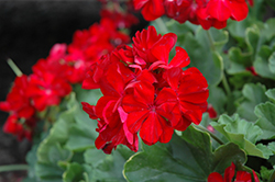 Calliope® Dark Red Geranium (Pelargonium 'Calliope Dark Red') at Bayport Flower Houses