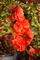 Double Take Orange™ Flowering Quince (Chaenomeles speciosa 'Double Take Orange Storm') at Bayport Flower Houses