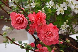 Double Take Pink™ Flowering Quince (Chaenomeles speciosa 'Double Take Pink Storm') at Bayport Flower Houses