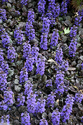 Black Scallop Bugleweed (Ajuga reptans 'Black Scallop') at Bayport Flower Houses