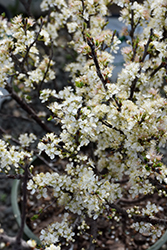 Beach Plum (Prunus maritima) at Bayport Flower Houses