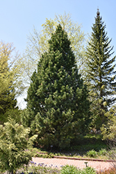 Swiss Stone Pine (Pinus cembra) at Bayport Flower Houses