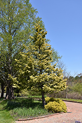Cripps Gold Falsecypress (Chamaecyparis obtusa 'Crippsii') at Bayport Flower Houses