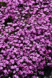 Emerald Pink Moss Phlox (Phlox subulata 'Emerald Pink') at Bayport Flower Houses