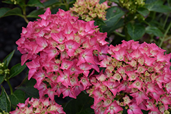 Pink Elf Dwarf Hydrangea (Hydrangea macrophylla 'Pink Elf') at Bayport Flower Houses