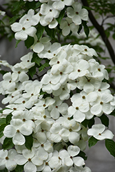 Celestial Flowering Dogwood (Cornus 'Rutdan') at Bayport Flower Houses