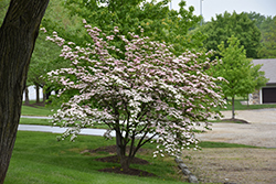 Stellar Pink Flowering Dogwood (Cornus 'Stellar Pink') at Bayport Flower Houses