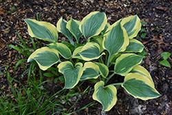 Liberty Hosta (Hosta 'Liberty') at Bayport Flower Houses