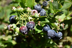 Jelly Bean® Blueberry (Vaccinium 'ZF06-179') at Bayport Flower Houses