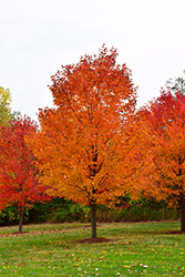 Commemoration Sugar Maple (Acer saccharum 'Commemoration') at Bayport Flower Houses