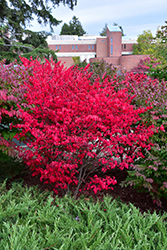 Compact Winged Burning Bush (Euonymus alatus 'Compactus') at Bayport Flower Houses