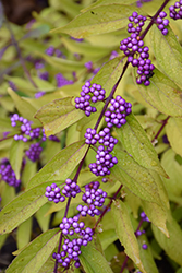 Early Amethyst Beautyberry (Callicarpa dichotoma 'Early Amethyst') at Bayport Flower Houses