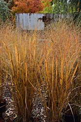 Northwind Switch Grass (Panicum virgatum 'Northwind') at Bayport Flower Houses