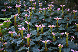 Hot Lips Turtlehead (Chelone lyonii 'Hot Lips') at Bayport Flower Houses