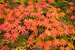 Japanese Maple (Acer palmatum) at Bayport Flower Houses