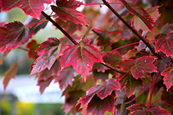 Brandywine Red Maple (Acer rubrum 'Brandywine') at Bayport Flower Houses