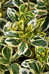 Chollipo Euonymus (Euonymus japonicus 'Chollipo') at Bayport Flower Houses