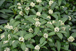 Reeves Skimmia (Skimmia reevesiana) at Bayport Flower Houses