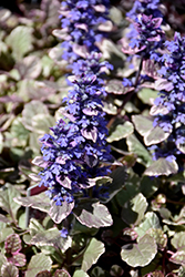 Burgundy Glow Bugleweed (Ajuga reptans 'Burgundy Glow') at Bayport Flower Houses