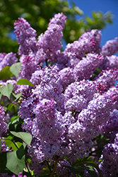 Common Lilac (Syringa vulgaris) at Bayport Flower Houses