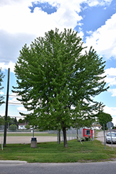 Silver Maple (Acer saccharinum) at Bayport Flower Houses