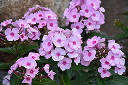 Cotton Candy™ Garden Phlox (Phlox paniculata 'Ditomfav') at Bayport Flower Houses