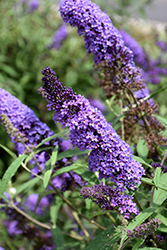 Purple Emperor Butterfly Bush (Buddleia davidii 'Purple Emperor') at Bayport Flower Houses