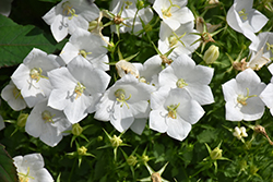 White Clips Bellflower (Campanula carpatica 'White Clips') at Bayport Flower Houses
