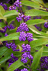 Issai Beautyberry (Callicarpa dichotoma 'Issai') at Bayport Flower Houses