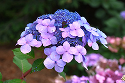 Twist-n-Shout® Hydrangea (Hydrangea macrophylla 'PIIHM-I') at Bayport Flower Houses