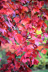 Red Maple (Acer rubrum) at Bayport Flower Houses